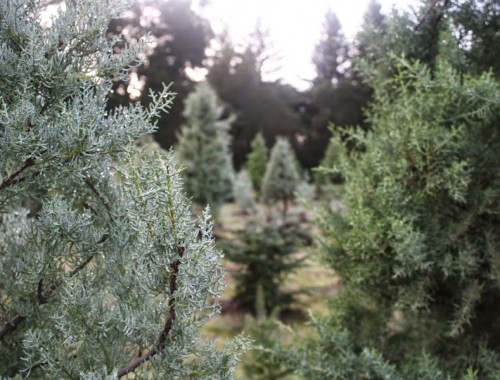 christmas-tree-farm-bouldercreek